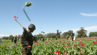Afghanistan poppies