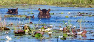 Hippos_Okavango Delta Hippos