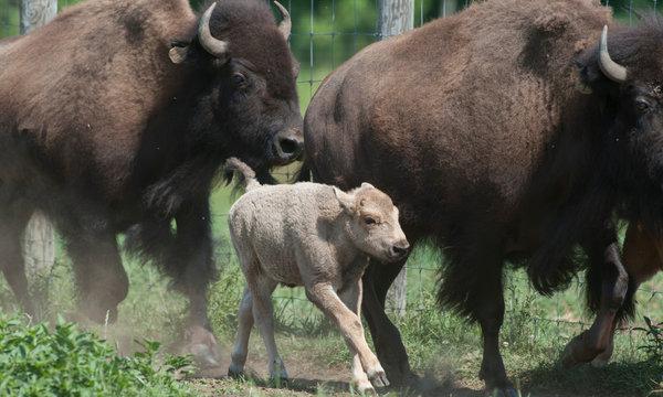 bison-articlelarge