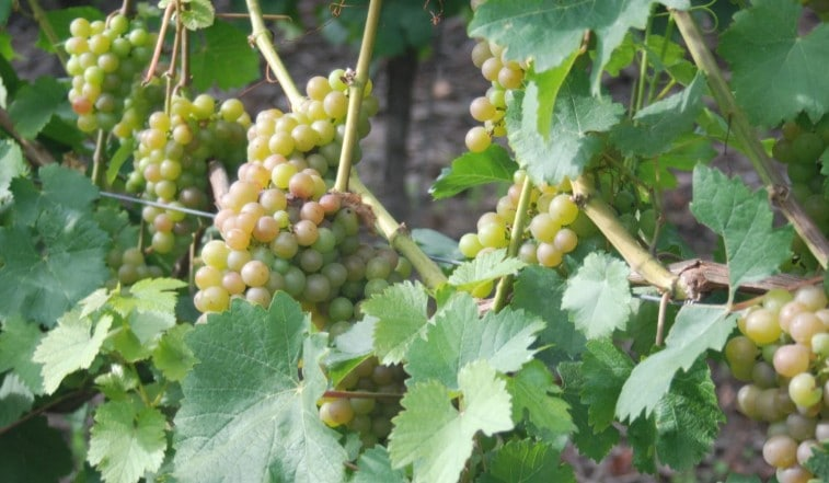 The Romans Gave Wine to Germany