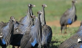 A new study finds that vulturine guineafowl live in complex societies previously found in primates, elephants and dolphins